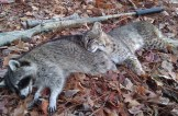 This Bobcat and the raccoon were taken within 30 seconds of each other by Texas Matt.