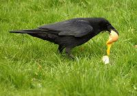 Crow eating a duck egg