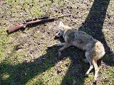 This coyote couldn't outrun the .17 caliber pill from Gadget Bob's rifle.