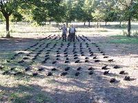 Texas Crow Patrol Shooters Took 222 Crows Out of this North East Texas Pecan Orchard in a Single Day