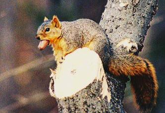 Squirrel eating a pecan.